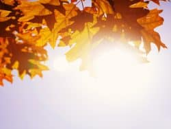 Golden autumn leaves with sun shining through